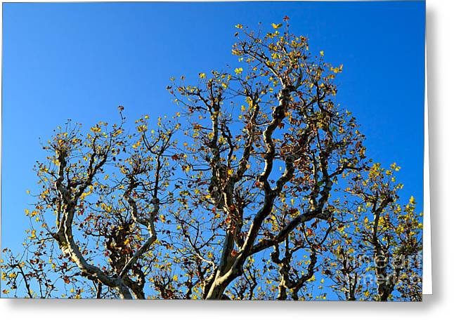 Plane Trees Greeting Cards - Plane Tree in Autumn Greeting Card by Louise Heusinkveld