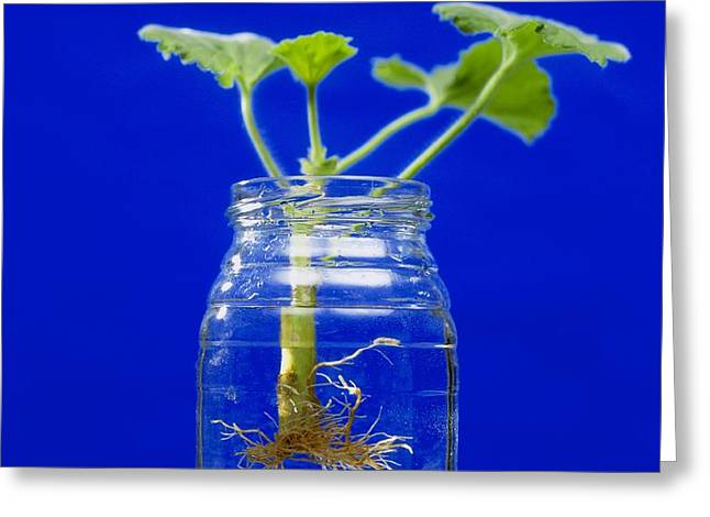 Plant Cutting Growing Roots Greeting Card by Andrew Lambert Photography