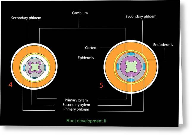 Phloem Greeting Cards - Plant Root Development, Diagram Greeting Card by Francis Leroy, Biocosmos
