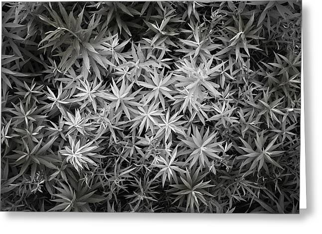 Indiana Scenes Greeting Cards - Plant Star Greeting Card by F Lee Photography