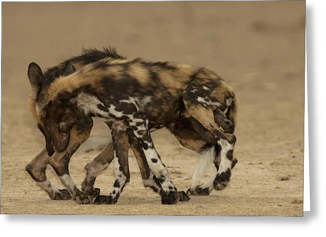 Socialize Greeting Cards - Play Is Frequent Among Wild Dog Pups Greeting Card by Frans Lanting