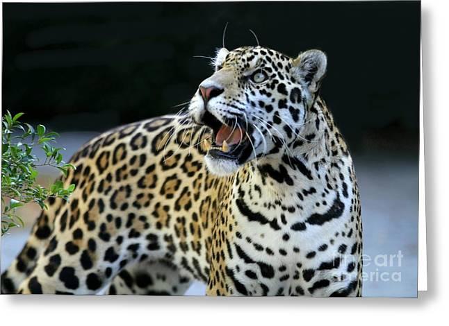 Jaguars Greeting Cards - Play With Me Greeting Card by Sabrina L Ryan