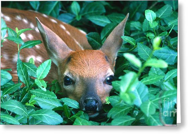 Fawn Greeting Cards - Playing Peekaboo Greeting Card by Sandra Bronstein