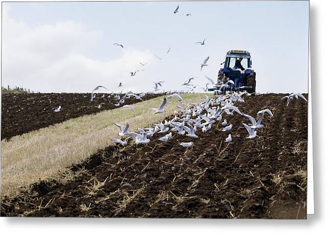 Ploughing With Seagulls, Co Down Greeting Card by The Irish Image Collection