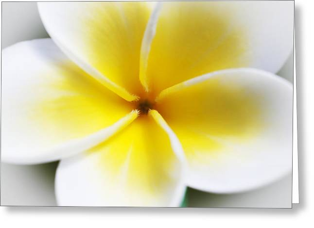 Close Focus Floral Greeting Cards - Plumeria Center Greeting Card by Joe Carini - Printscapes