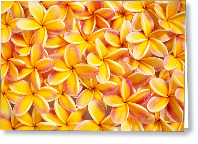 Bed Spread Greeting Cards - Plumeria Flowers Greeting Card by Kyle Rothenborg - Printscapes