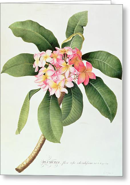 Botanical Paintings Greeting Cards - Plumeria Greeting Card by Georg Dionysius Ehret
