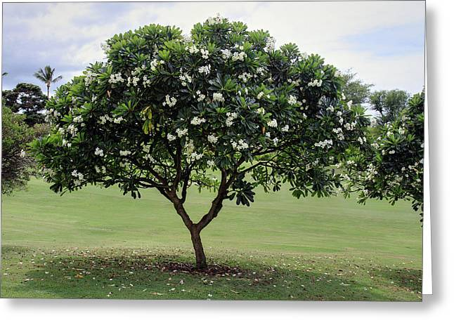 Tropical Golf Course Greeting Cards - Plumeria tree Greeting Card by Pierre Leclerc Photography