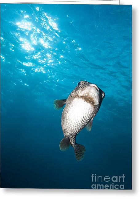 Porcupinefish Greeting Cards - Pocupinefish In Blue Water, Byron Bay Greeting Card by Mathieu Meur