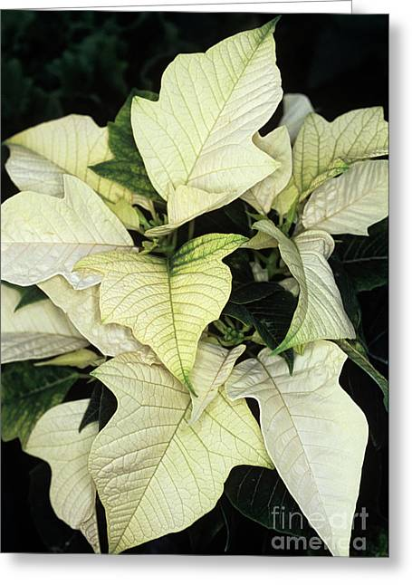 Euphorbia Greeting Cards - Poinsettia (euphorbia Pulcherrima) Greeting Card by Adrian Thomas