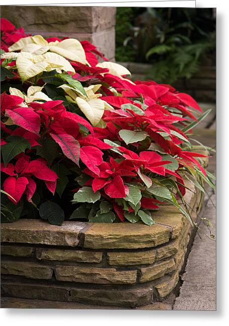 Christmas Greeting Photographs Greeting Cards - Poinsettia Garden Greeting Card by Dale Kincaid
