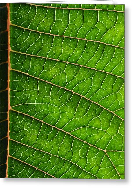 J.d. Grimes Greeting Cards - Poinsettia Leaf III Greeting Card by JD Grimes