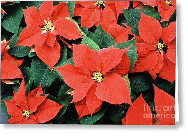 Euphorbiaceae Greeting Cards - Poinsettia Varieties Greeting Card by Science Source