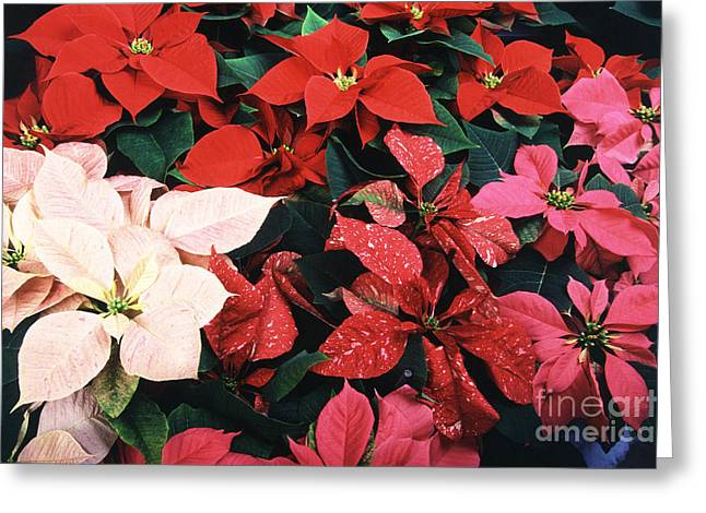 Euphorbiaceae Greeting Cards - Poinsettias Greeting Card by Science Source