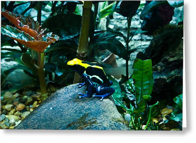 Nashville Tennessee Greeting Cards - Poison Dart Frog Poised for Leap Greeting Card by Douglas Barnett