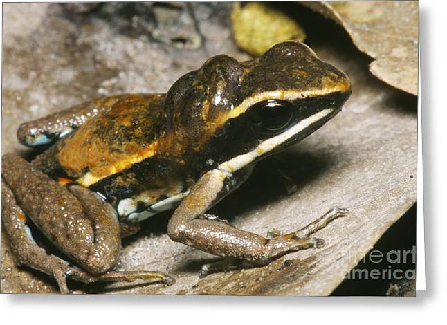 Tadpole Greeting Cards - Poison Dart Frog With Tadpoles Greeting Card by Dante Fenolio