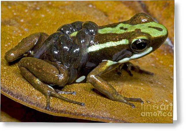 Parental Care Greeting Cards - Poison Frog With Tadpoles Greeting Card by Dante Fenolio
