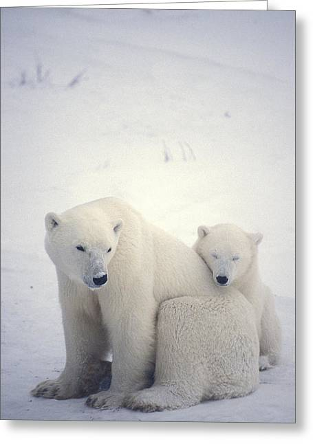 Caring Mother Greeting Cards - Polar Bear And Cub Greeting Card by Chris Martin-bahr