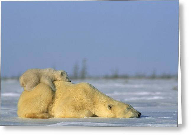 Juvenile Mammals Greeting Cards - Polar Bear And Her Cub Resting Greeting Card by Norbert Rosing