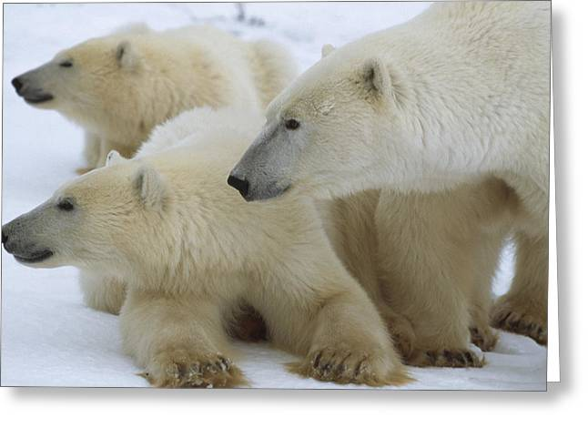 Polar Bear And Two Large Cubs Sniffing Greeting Card by Norbert Rosing