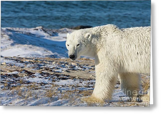 White Thick Fur Greeting Cards - Polar bear Greeting Card by Buchachon Petthanya