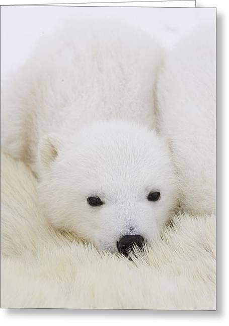 Ursidae Greeting Cards - Polar Bear Cub Cuddling Against Mother Greeting Card by Suzi Eszterhas