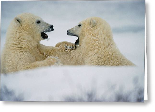 Adversary Greeting Cards - Polar Bear Cubs Sparring, Churchill Greeting Card by Mike Grandmailson