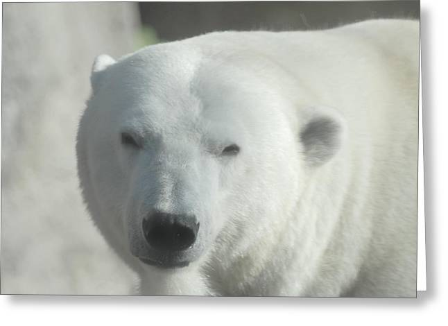 Polar Bear Greeting Card by Curtis Gibson