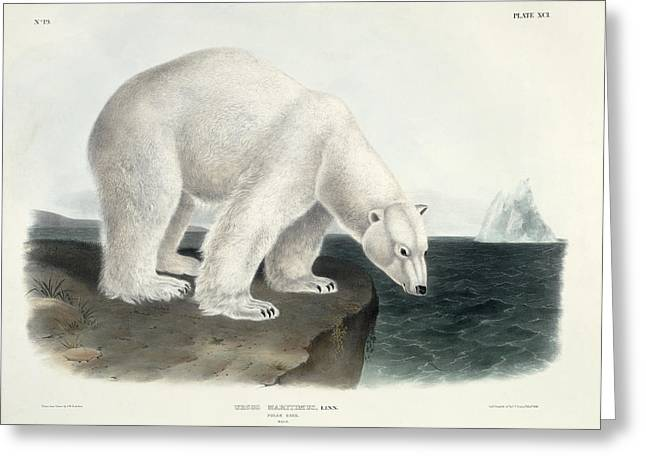 Wild Life Paintings Greeting Cards - Polar Bear Greeting Card by John James Audubon