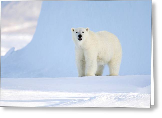 Ursus Maritimus Greeting Cards - Polar Bear Greeting Card by Louise Murray