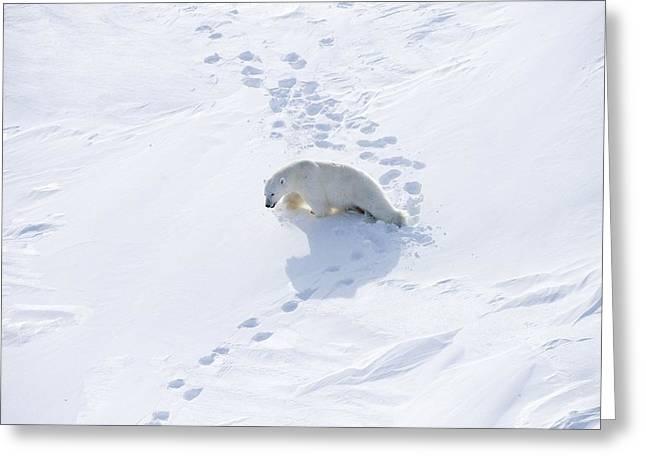 Russian Born Greeting Cards - Polar Bear Greeting Card by Ria Novosti