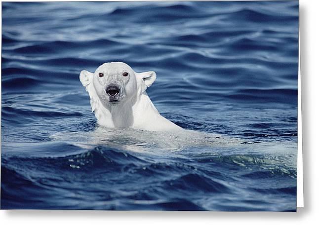 Ursidae Greeting Cards - Polar Bear Swimming Baffin Island Canada Greeting Card by Flip Nicklin