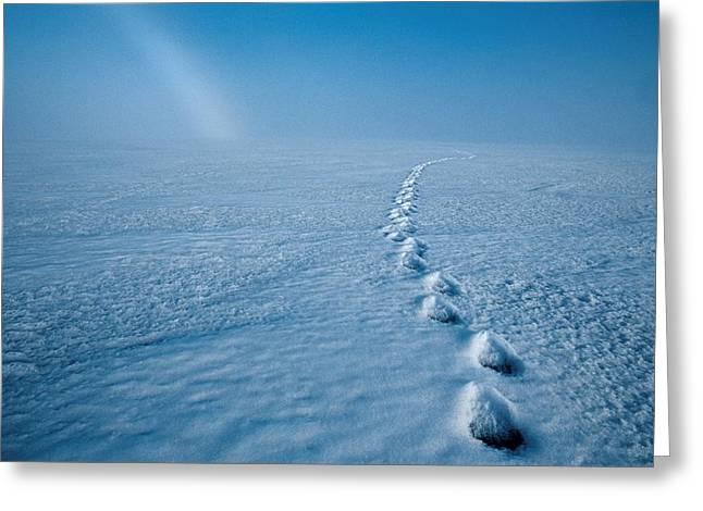 Bear Tracks Greeting Cards - Polar Bear Tracks Melt Through The Snow Greeting Card by Paul Nicklen