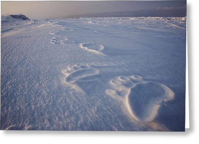 Svalbard Greeting Cards - Polar Bear Tracks On Sea Ice Greeting Card by Paul Nicklen