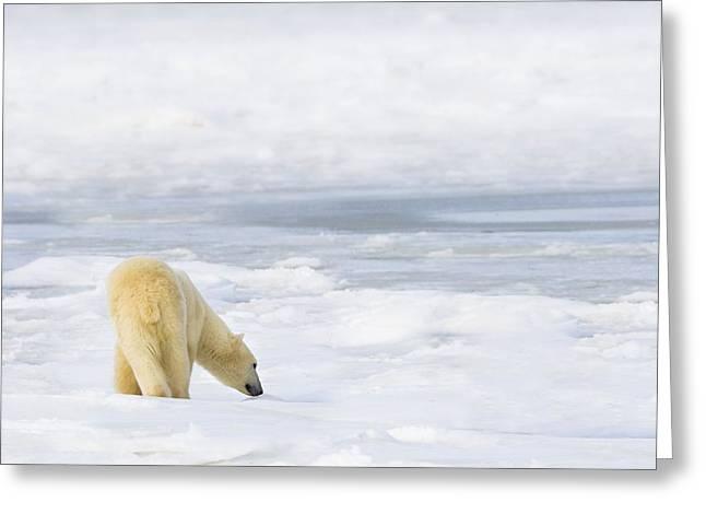 People On Ice Greeting Cards - Polar Bear Ursus Maritimus Being Greeting Card by Richard Wear
