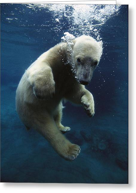 Ursidae Greeting Cards - Polar Bear Ursus Maritimus Cub Greeting Card by San Diego Zoo