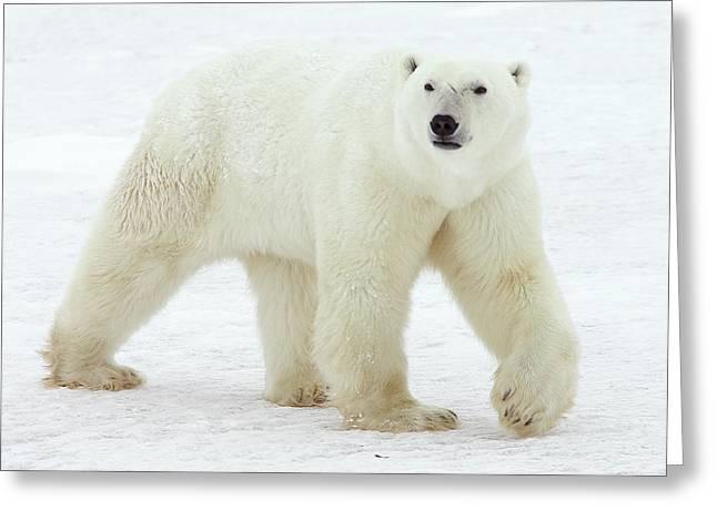 Ursidae Greeting Cards - Polar Bear Ursus Maritimus Male Greeting Card by Matthias Breiter