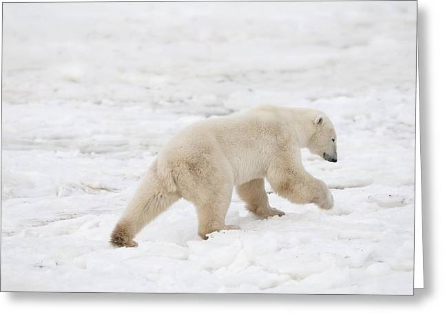 People On Ice Greeting Cards - Polar Bear Ursus Maritimus On The Move Greeting Card by Richard Wear