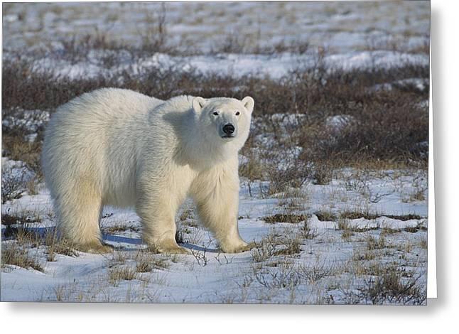 Alert Bay Greeting Cards - Polar Bear Ursus Maritimus Portrait Greeting Card by Konrad Wothe