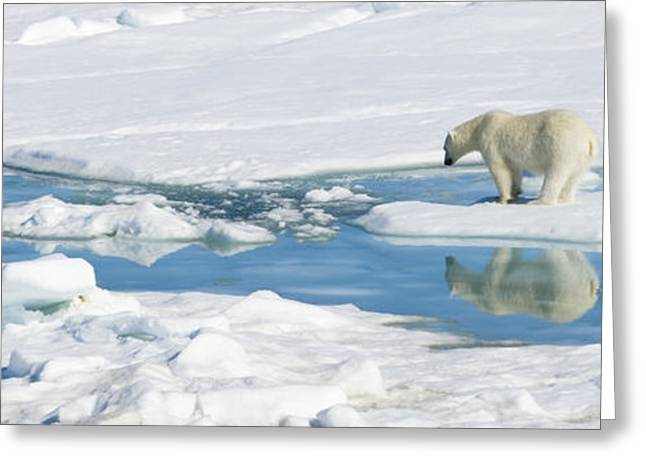 Ocean Mammals Greeting Cards - Polar Bear, Ursus Maritimus Greeting Card by Ralph Lee Hopkins