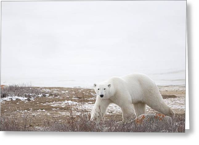 People On Ice Greeting Cards - Polar Bear Ursus Maritimus Staring Greeting Card by Richard Wear
