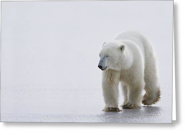 People On Ice Greeting Cards - Polar Bear Ursus Maritimus Walking On Greeting Card by Richard Wear