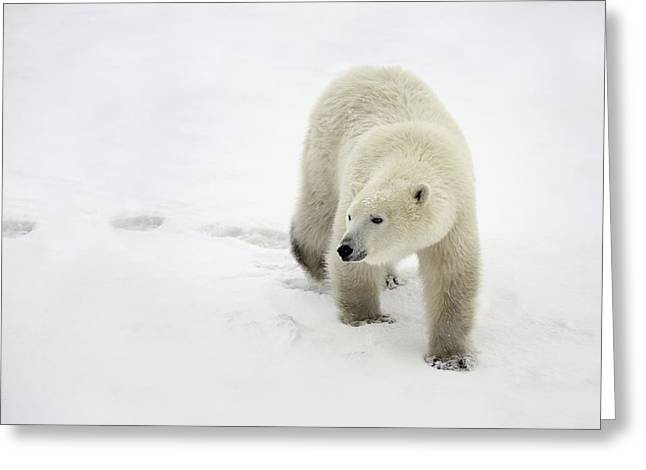 Wild Life Greeting Cards - Polar Bear Walking Greeting Card by Richard Wear