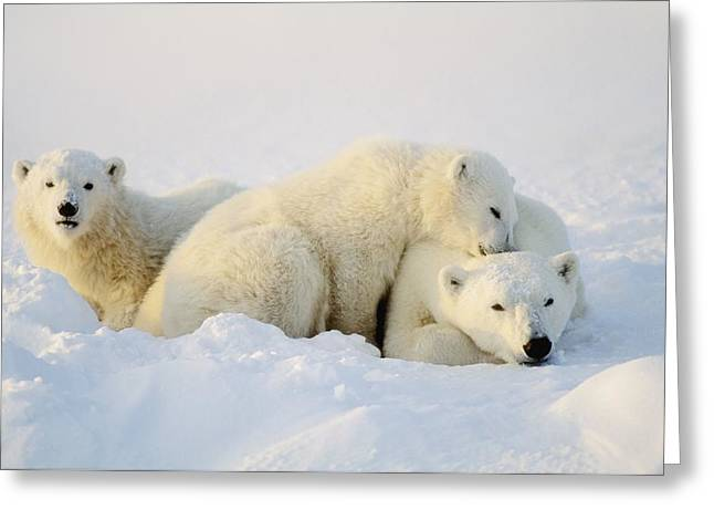 Bonding Greeting Cards - Polar Bears Greeting Card by John Pitcher