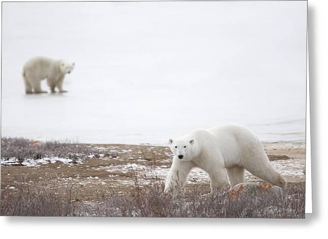 People On Ice Greeting Cards - Polar Bears Ursus Maritimus Staring Greeting Card by Richard Wear