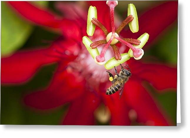 Passiflora Greeting Cards - Pollen Collection Service Greeting Card by Zoe Ferrie