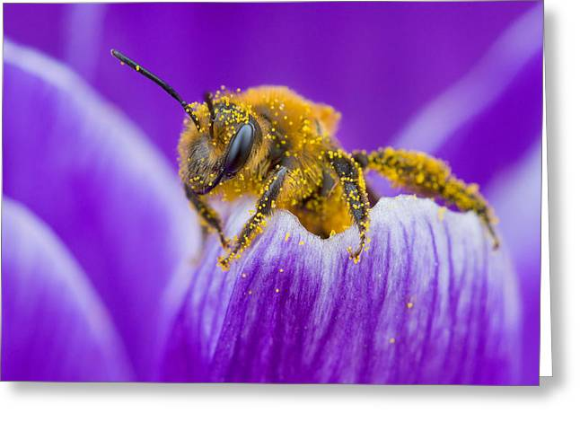 Pollenation Greeting Cards - Pollen-covered Bee On Crocus Greeting Card by Daniel Cadieux