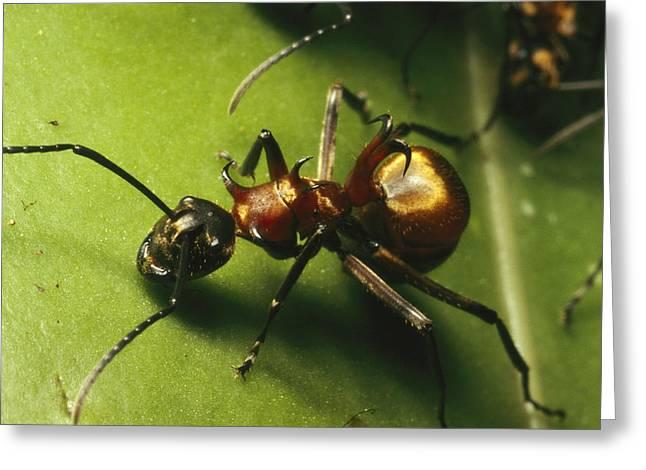 Borneo Island Greeting Cards - Polyrhachis Ant On A Strangler Fig Leaf Greeting Card by Tim Laman