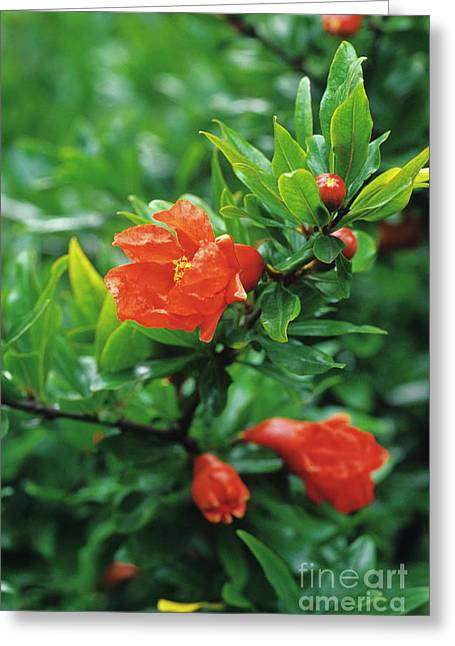 Punica Granatum Greeting Cards - Pomegranate Flowers Greeting Card by Duncan Smith