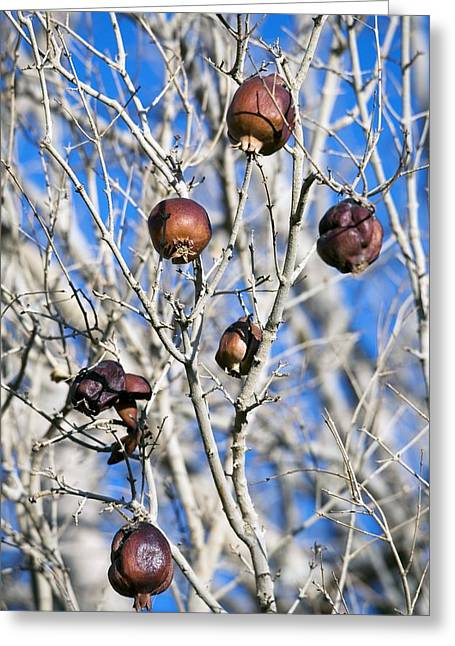 Punica Granatum Greeting Cards - Pomegranate Tree Greeting Card by Dirk Wiersma